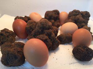 Trufando huevos con Tuber Melanosporum.
